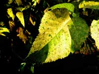 Zebra leaf plant - An image of a leaf with patches of dark and light green colours