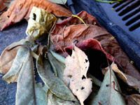 A blanket of leaves  - An image of leaves on a car parked in Greenfields, andheri, Mumbai