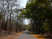 Dry trees move to the left of the road, greens to the right - An image of laburnum trees on the way to Kanheri Caves