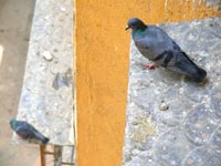 One leve up - An image of pigeons sitting on windows of my building | copyright Picturejockey