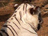 A fake tiger - An image of a White Tiger at Sanjay Gandhi National Park, Borivalli, Mumbai, India