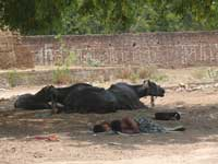 The slowest in the Group - A group of buffalo and sleeping men