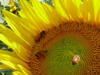 Bees on sunflower - Suflower and bees on way to Chandigarh from Nangal
