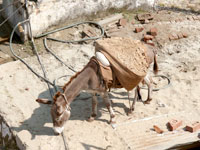 Working harder or smarter - A donkey on the steps of Jalfa Devi temple in Punjab